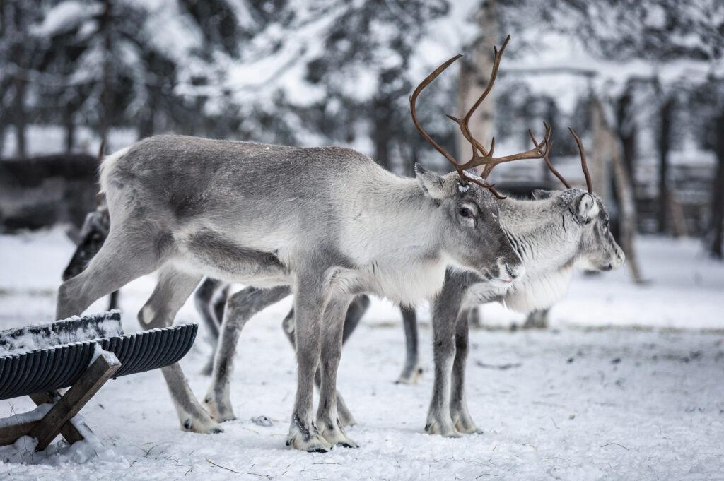Reindeer on a reindeer farm